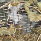 The Dreaded Varmint, weeks later: we finally catch something