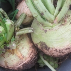 Best way to store turnips for winter & a fabulous roasted root recipe!