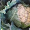 The Brassicas Conundrum and the fall garden surprise they hold