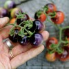 My 11 Very Favorite Heirloom Tomato Varieties (this year!)