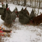 Sprouting grains for chickens: has it come to this?