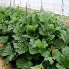 GOT Squash Bugs in your garden? Eradicate these pests . . . naturally!