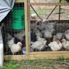 My New Chicken Tractor: brand new digs for the meat chooks!