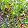 Wild plums: hidden in plain sight but plum worth hunting for!