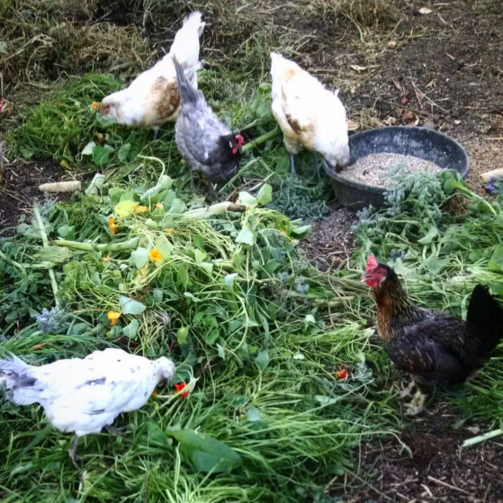 chickens in greens