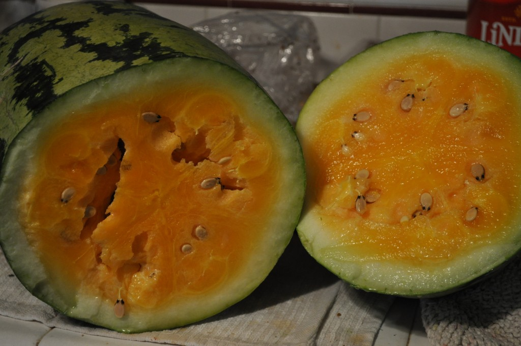 Wouldn't you want as many of these melons as possible?  This is an Orange-Glo variety from Baker Creek Heirloom Seeds and it was one of the tastiest watermelons I've ever eaten.
