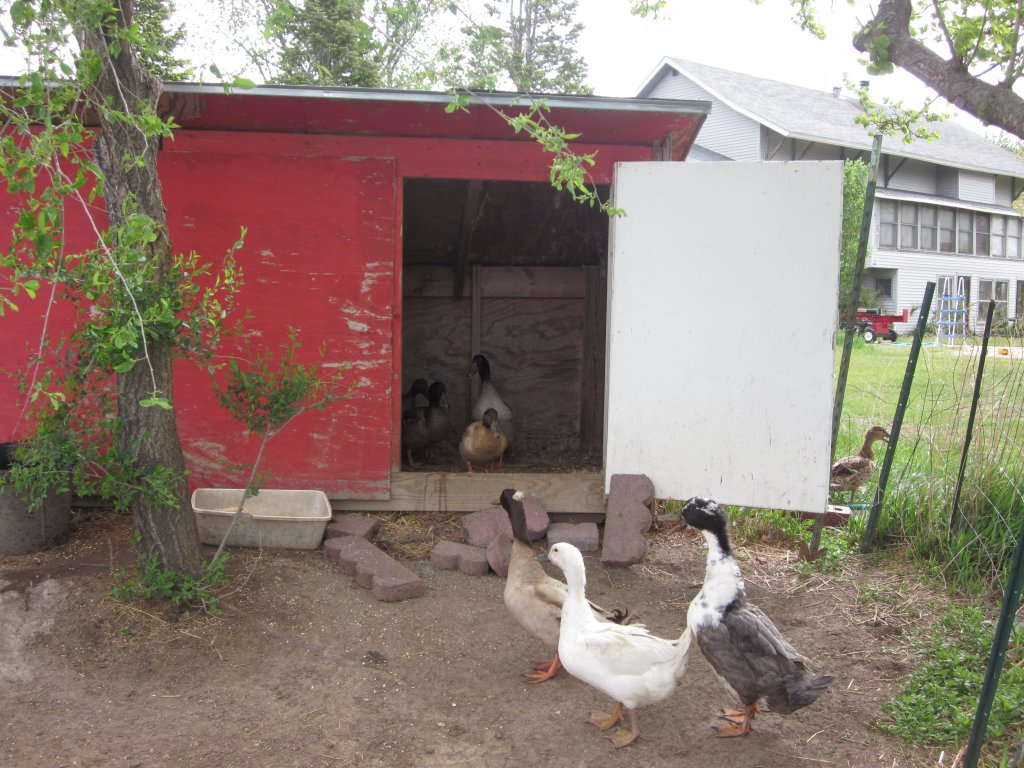 Strangely, ducks aren't cooperative when it's time for picture-taking.  Here they contemplate which way to run.