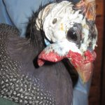 Moving an angry guinea fowl is not for the faint of heart!