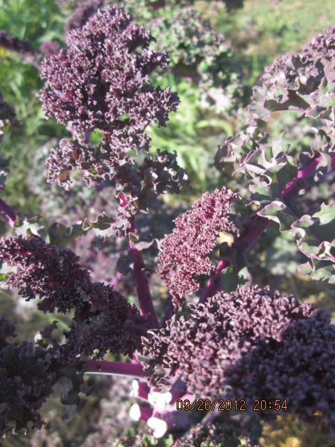 I just love this purple kale I grew last summer!