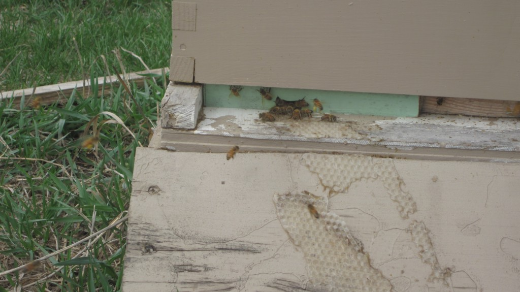 Bryan has one hive of honeybees (out of three) that survived the winter, and I see that they are quite busy collecting pollen.