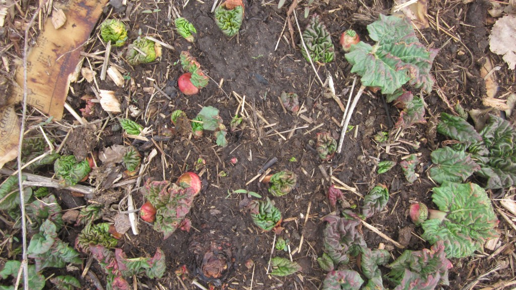 Here are the first buds of rhubarb pushing up out of the soil.