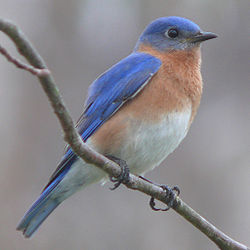 We have Eastern Bluebirds here in Nebraska (image from Wikipedia).