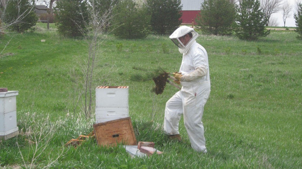 Here Bryan prepares to drop one of several clumps of bees into the hive.