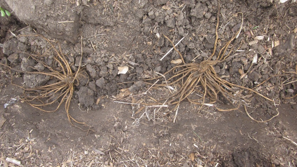 Here you can see the roots positioned properly in their trench.