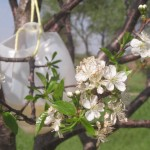 "All-natural fruit tree ""bait"" for insects: it works!"