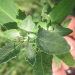 Lambsquarters: all about the princess of wild greens, and recipes!