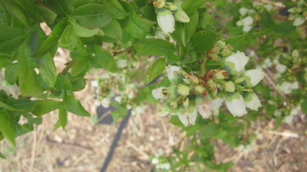 This blueberry bush is loaded with blossoms. In a few weeks, they'll be berries and ready to pick!