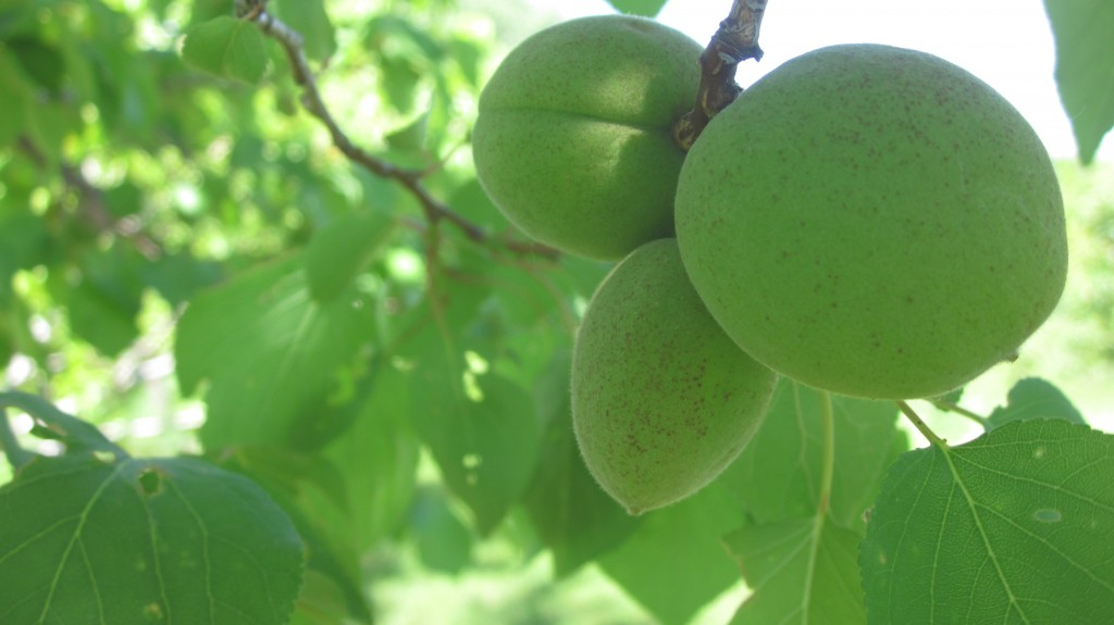 It looks like we'll have our first-ever pluot crop.