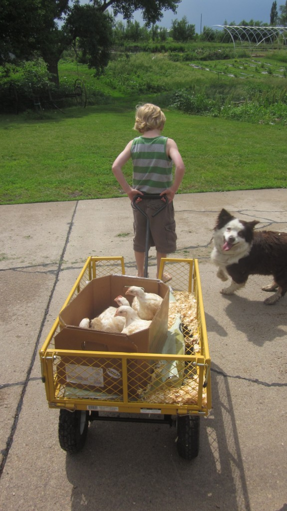 Our Australian Shepherd Bea was excited and was convinced that we needed her help to keep the chicks inside the box.