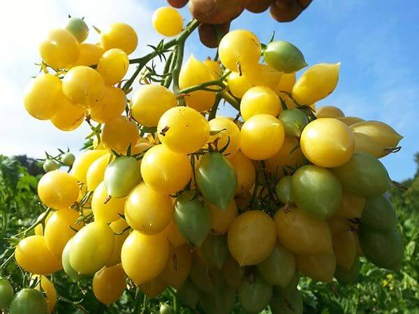 cluster of yellow cherry tomatoes