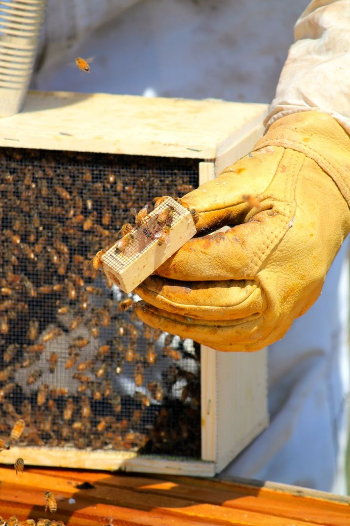 The queen is housed in a little box inside the box of bees. Bryan checks to make sure she is alive and healthy before releasing her into the hive.