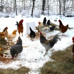 The flap about Diatomaceous Earth and why your chickens need it
