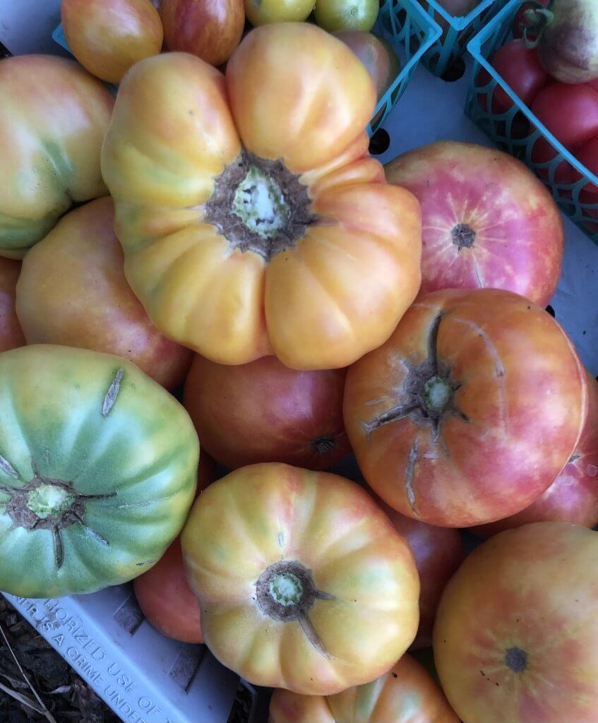 pile of pink/yellow tomatoes