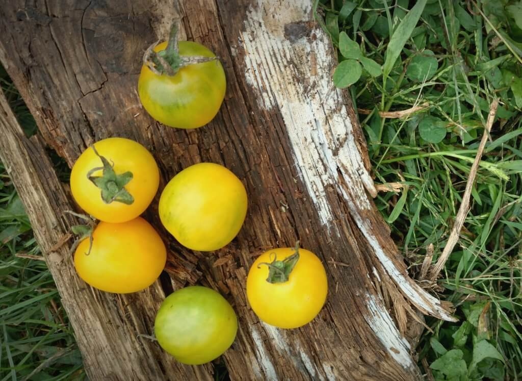 Green Gage tomatoes