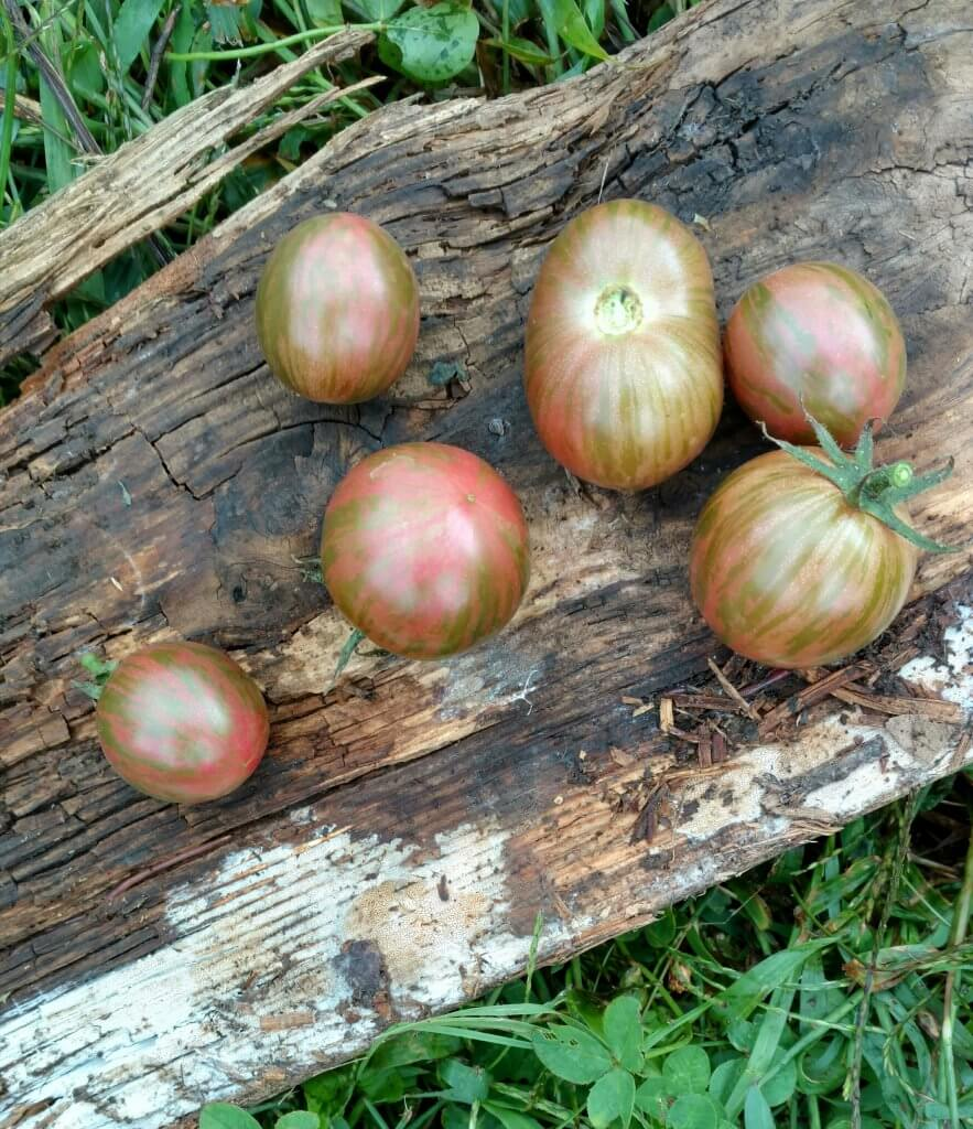 striped purple cherry tomatoes