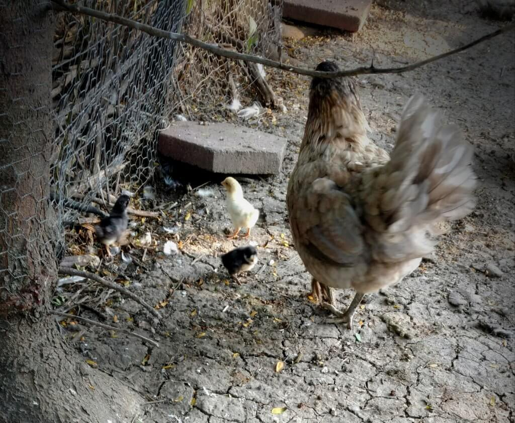 mama hen with 3 chicks