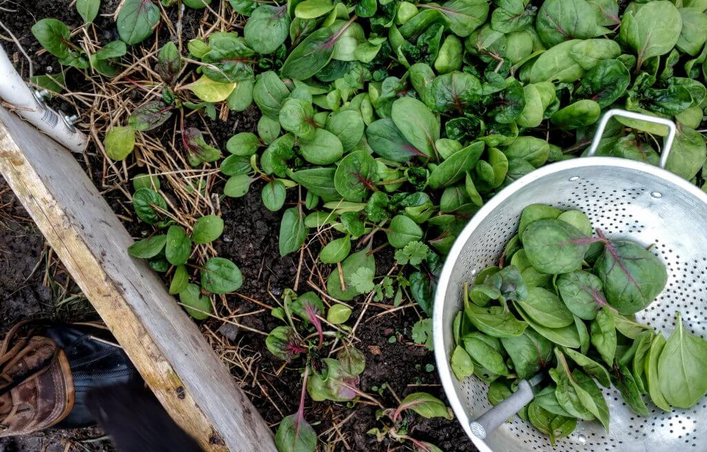 a garden bed full of baby spinach leaves