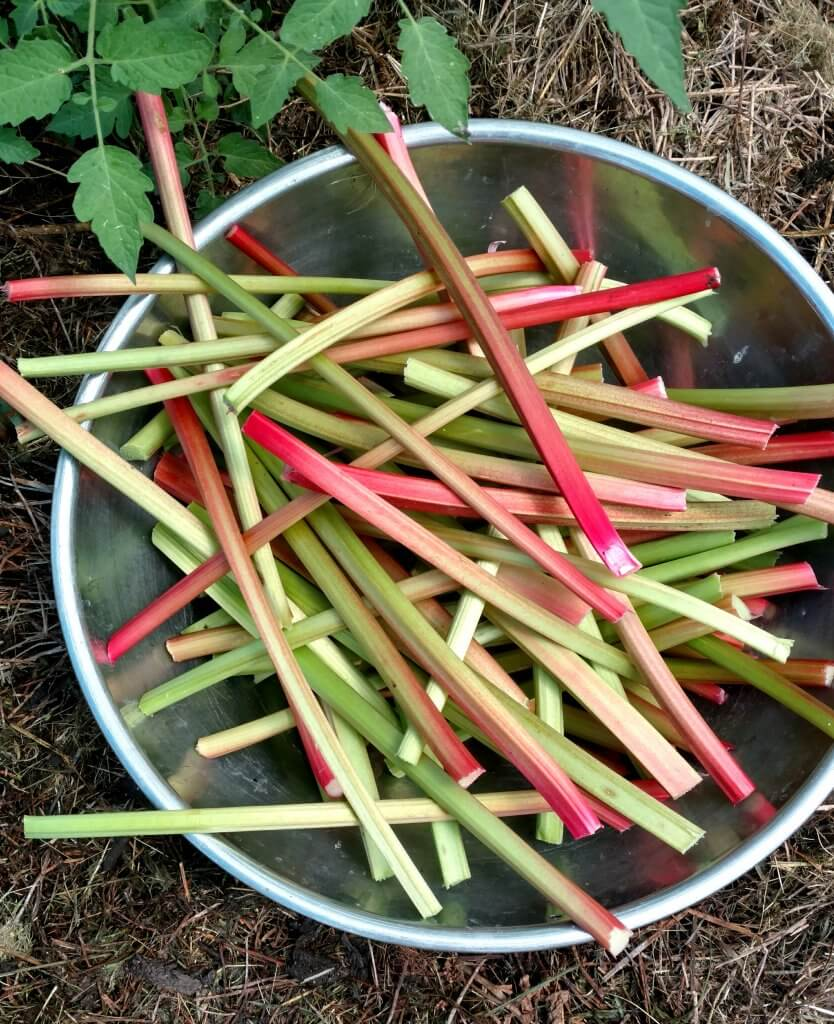 bowlful of rhubarb stalks