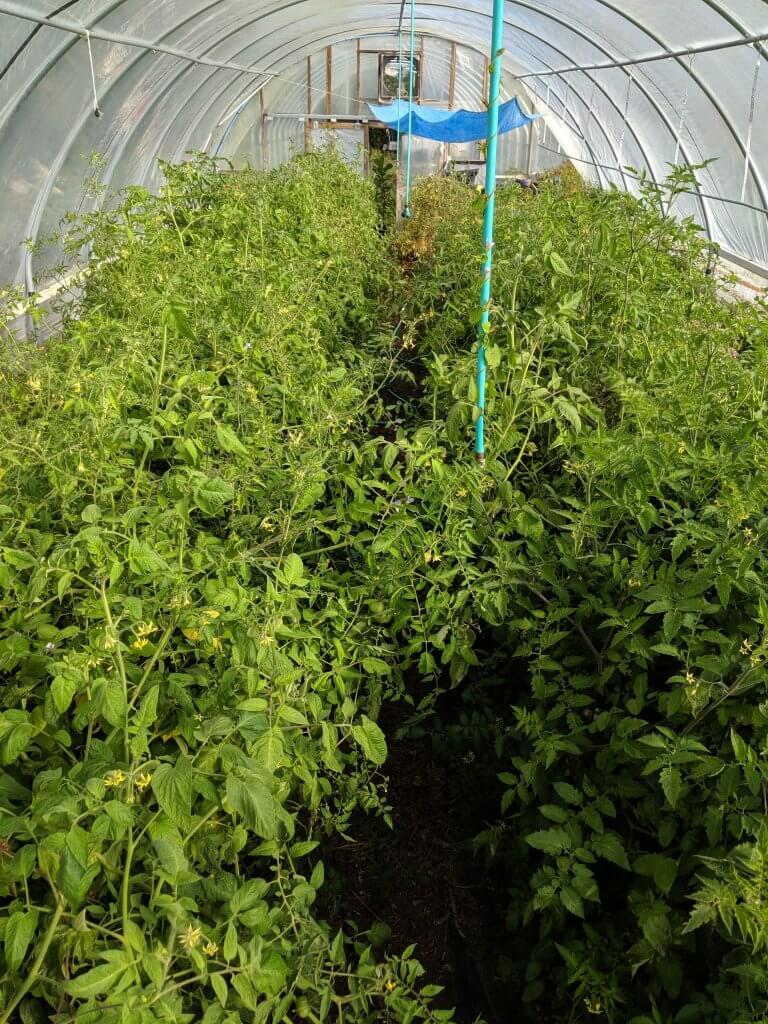 hoophouse full of tomato plants
