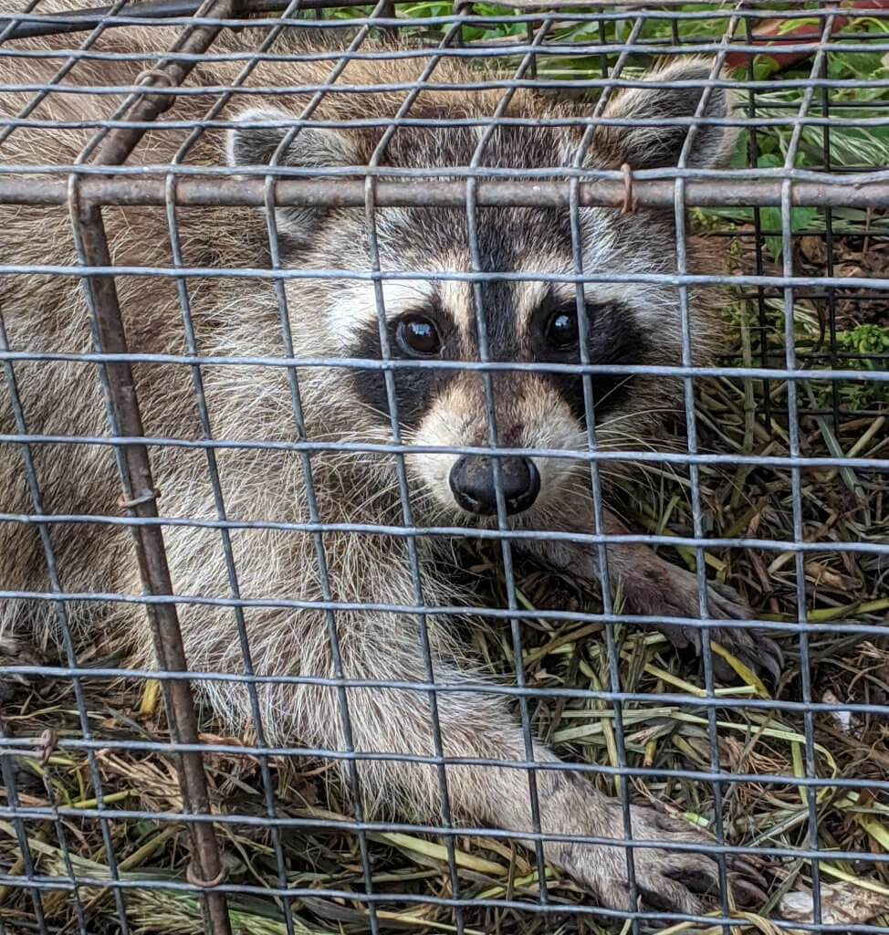 raccoon in a trap: close-up