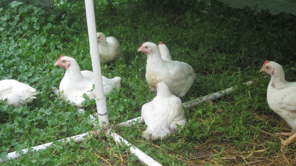My Cornish Cross chickens:  all-white, all-unwitting