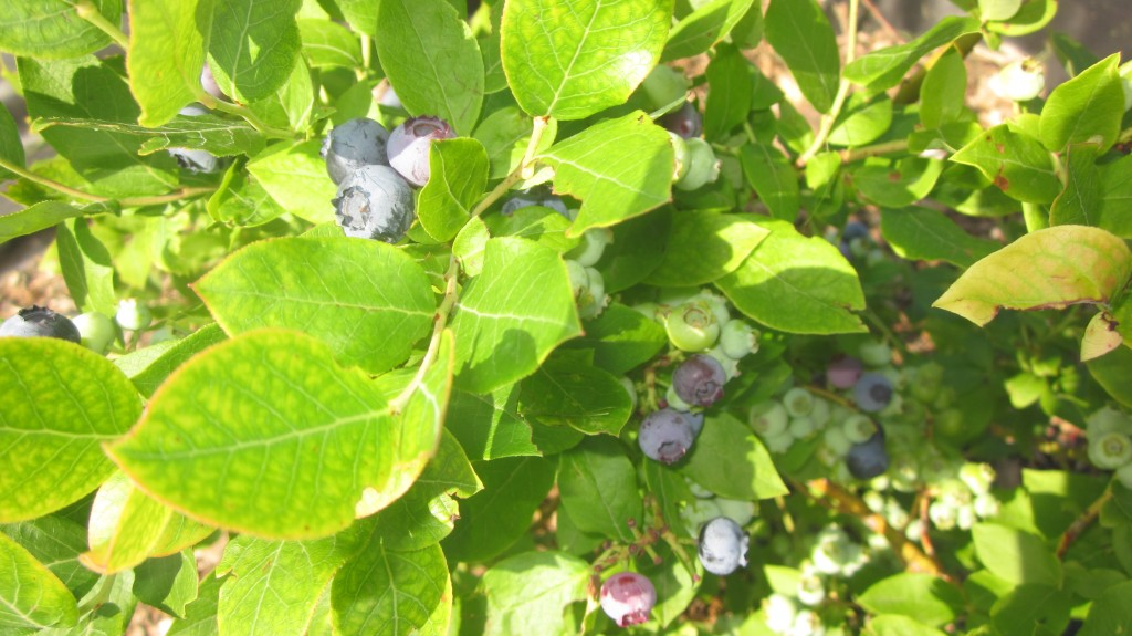 This bush has a nice crop of berries on it.
