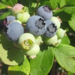 How to grow blueberries even when they don't like your soil