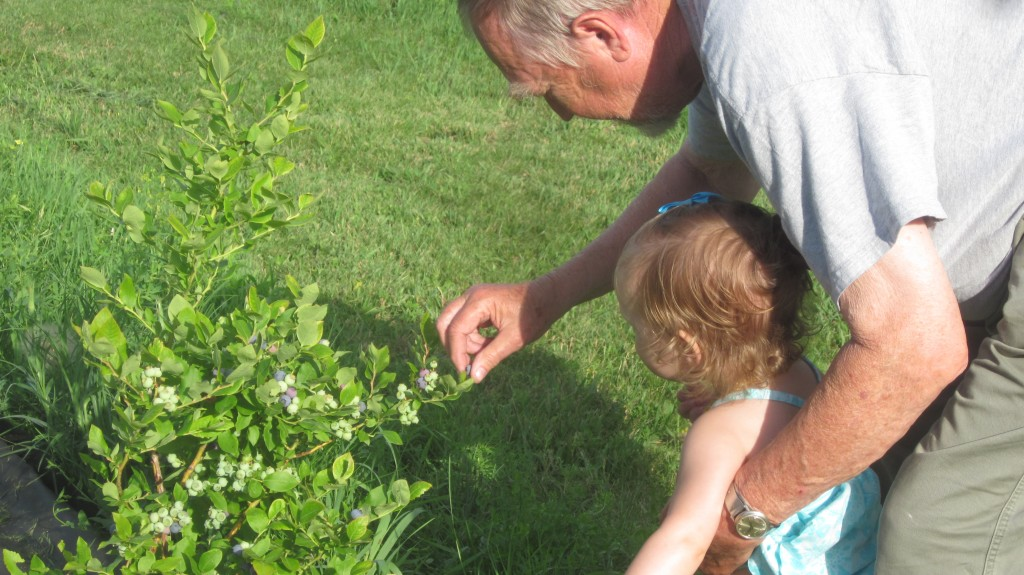 Here's my dad and his great-granddaughter (and my granddaughter!) Anya picking a few blueberries