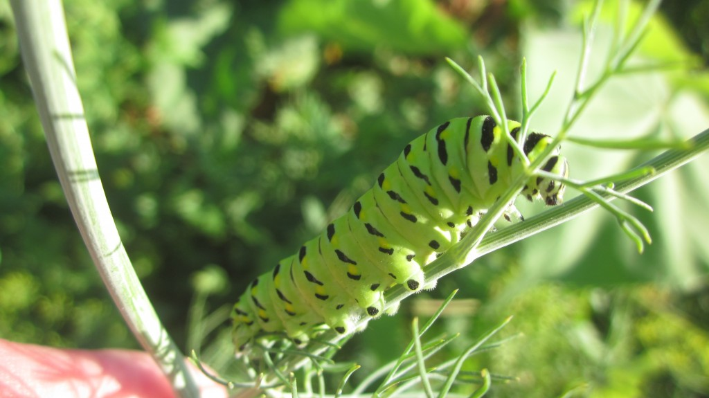 I'm all for encouraging butterfly populations! Here's the Black Swallowtail caterpillar, now happily munching on my dill, with my blessing.