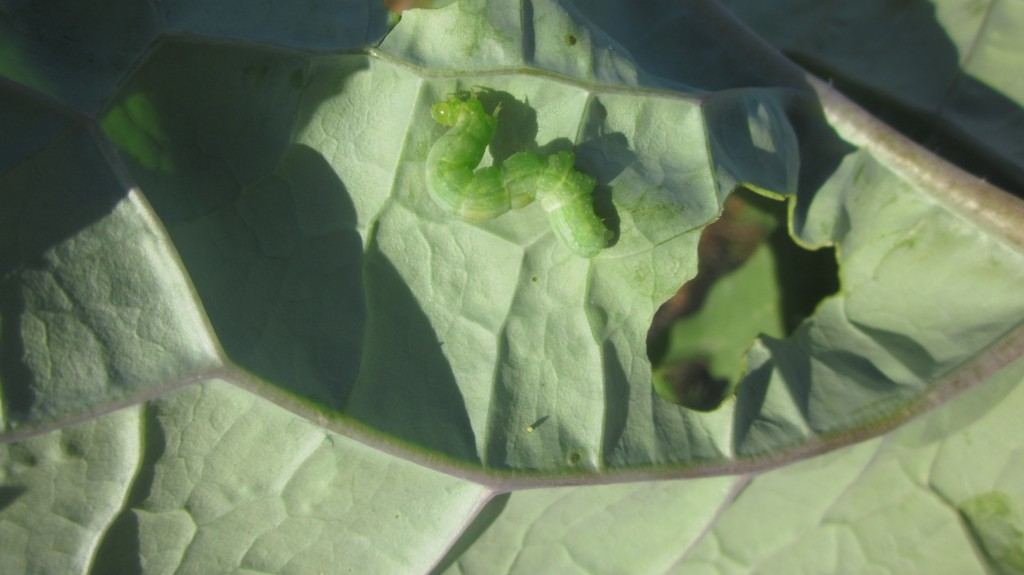 You certainly can see the large hole that this cabbage moth caterpillar has eaten in this kale leaf.  The caterpillar itself is harder to spot---see it?