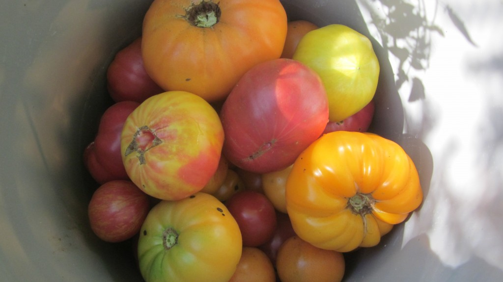 "I simply can't raise ""just"" red tomatoes, when there are so many pretty colored varieties available. Yellow--pink--striped--green!!"