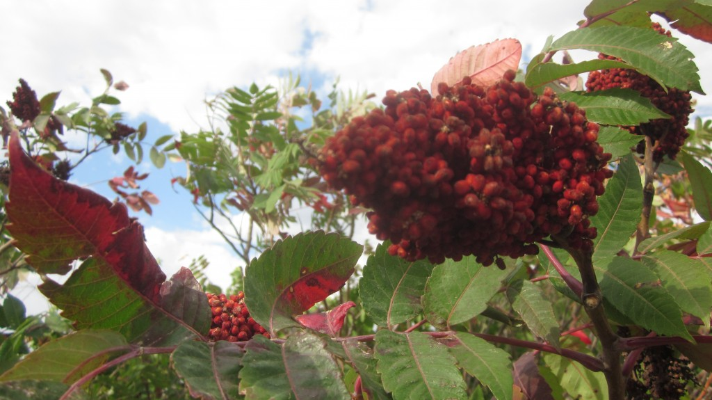 Sumac in the fall is the most delicious color!