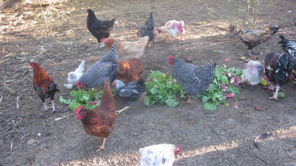 Our chickens spend part of the day in their fenced-in yard, to keep the predators guessing. Here they chow down on some garden scraps.