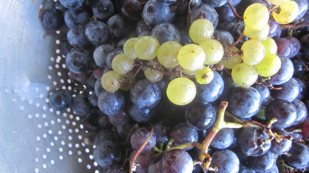 Aren't they gorgeous? The Concord grapes are the purple ones, and the smaller green ones on top are champagne grapes.