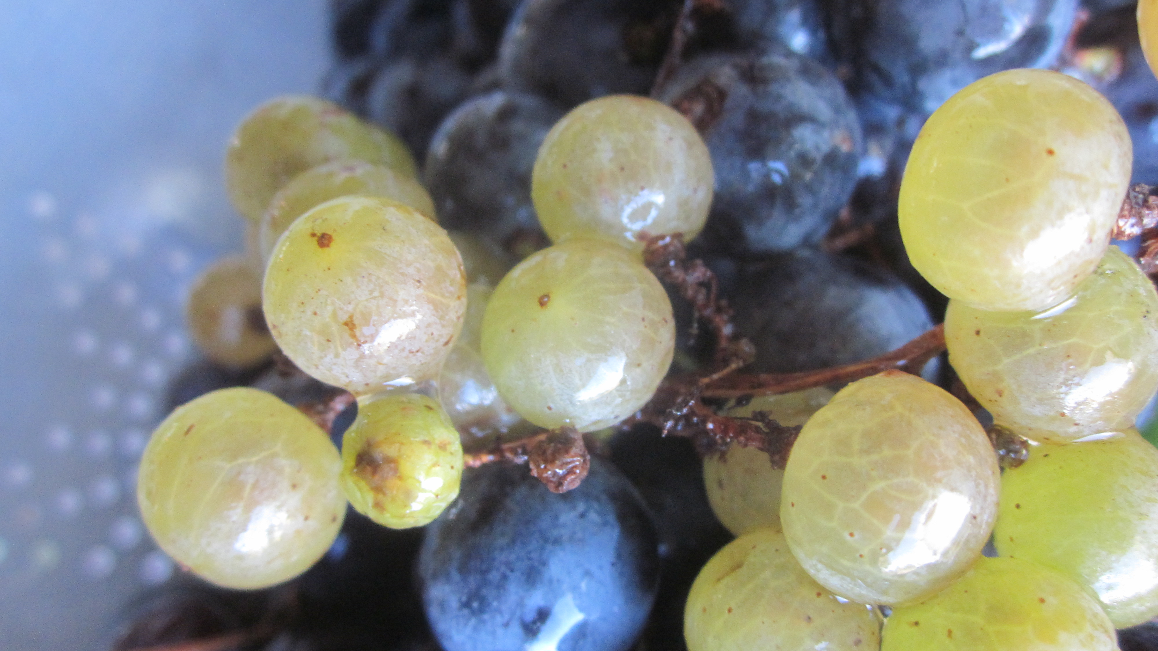 How to make grape juice the way your grandma made it