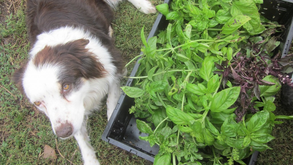 Here's Bea and a nice harvest of basil, which I'll make into pesto for the freezer this week.