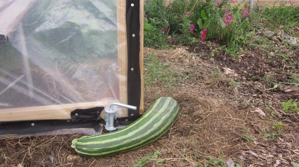 A large zucchini makes a great doorstop out at the hoop house.