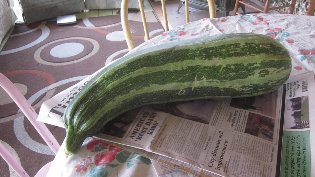 A stout zucchini makes a great (news) paper-weight.