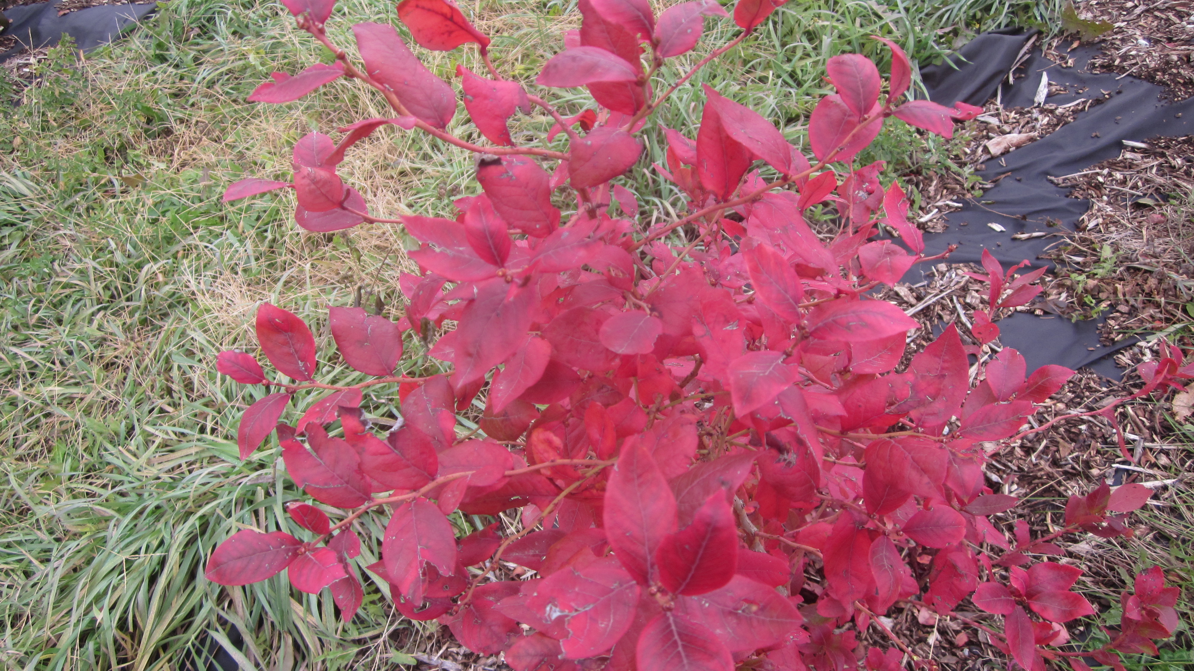 If you've been leaning toward planting blueberry bushes this fall . . .