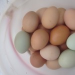 How to keep your hens laying eggs all winter long: my top 5 tips!